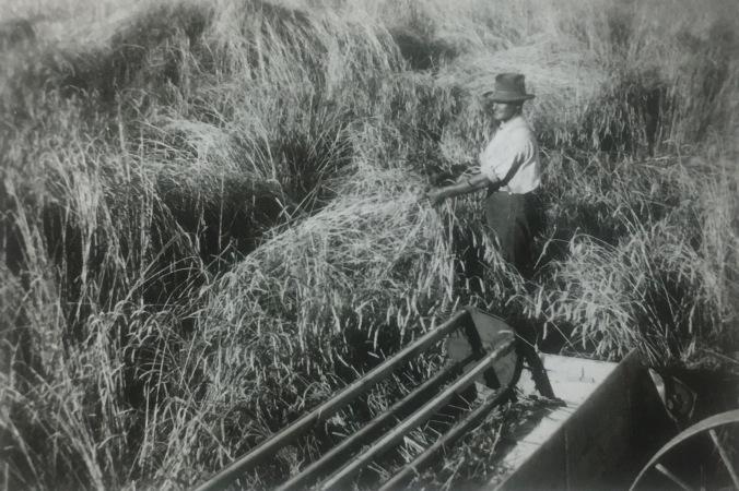 IMG_3716 oat crop